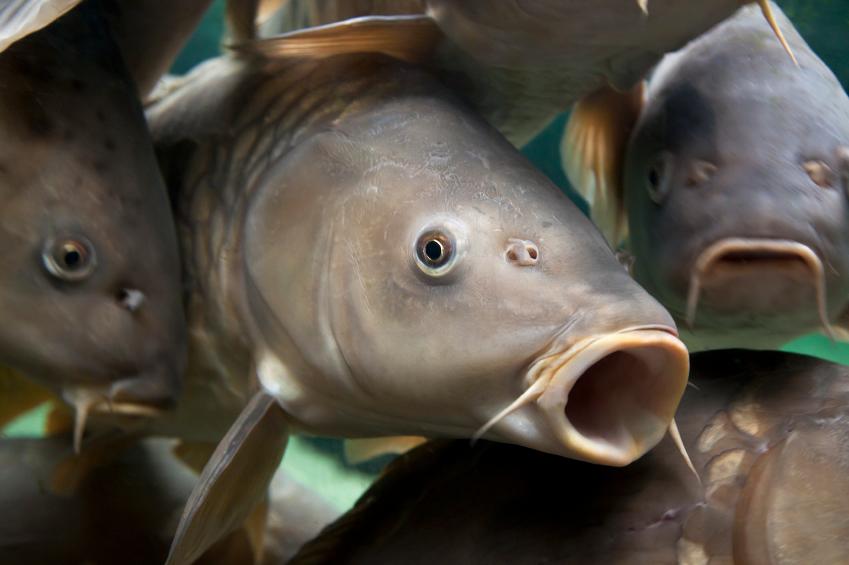 Close-up of a shoal of common / european carp, Cyprinidae Carpio