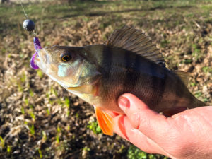 Redfin Perch / English Perch / European Perch